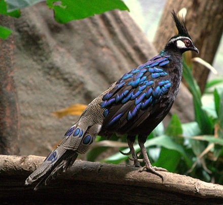 Palawan Peacock Pheasant Male