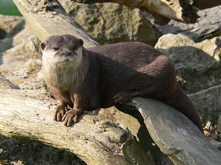 Aonyx-Clawless Otter
