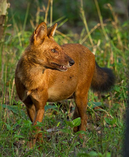 Dhole-wild dog