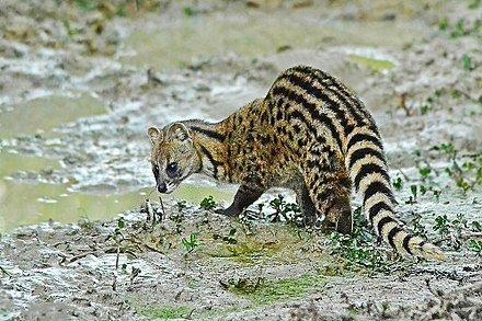 Indian Civet