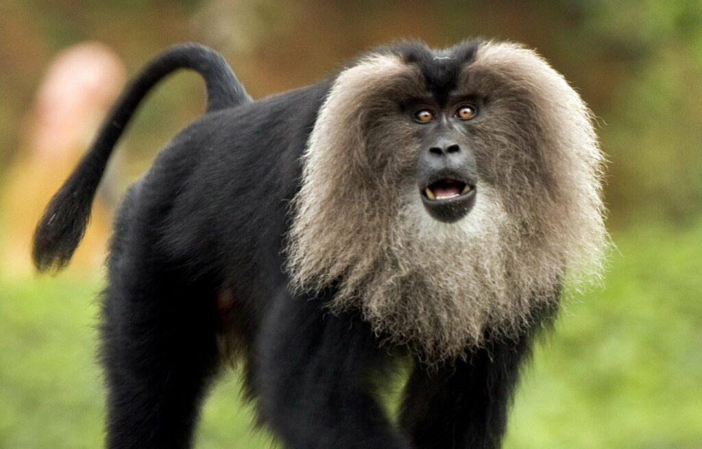 Lion Face Monkey Silent Valley National Park Kerala