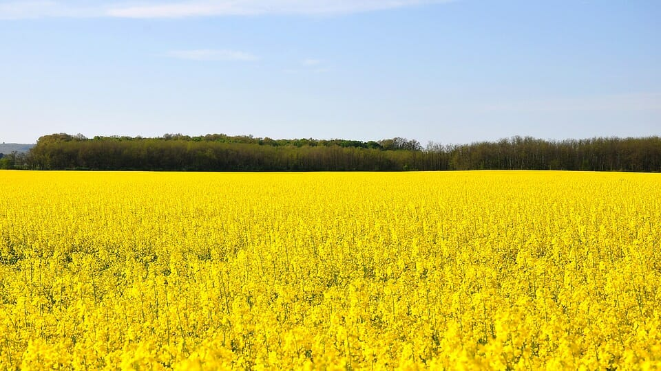 Canola Fields in Caledon
