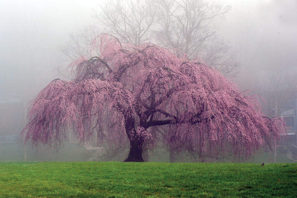 How To Care For A Weeping Cherry Tree