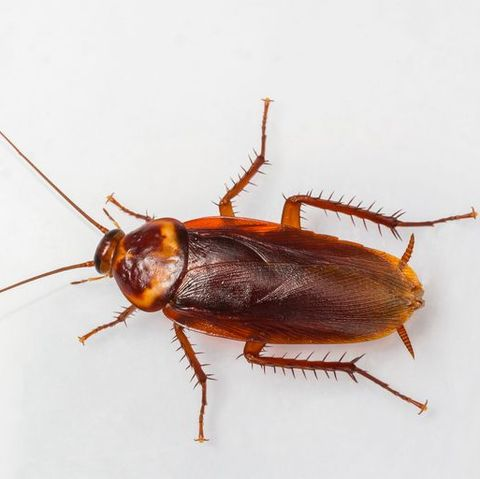 how to get rid of cockroaches - American cockroach