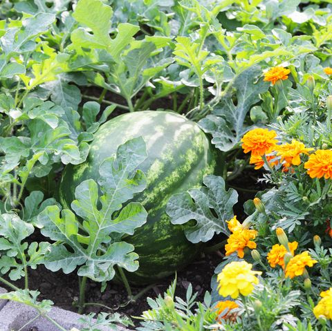 large ripe watermelon citrullus lanatus in a summer garden