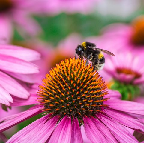 Honeybee pollinated on eastern purple coneflower