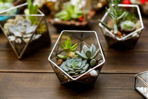 Succulents in the geometry glass terrarium