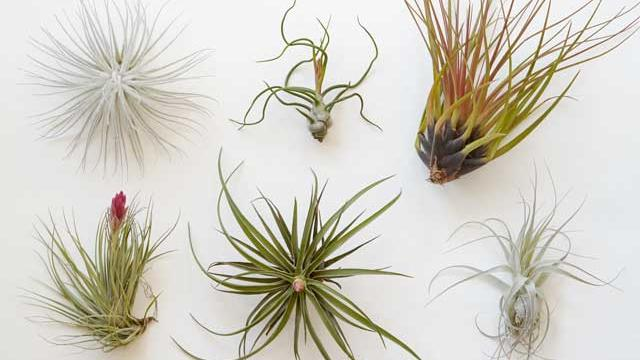 Benefits of Air Plants and how to grow