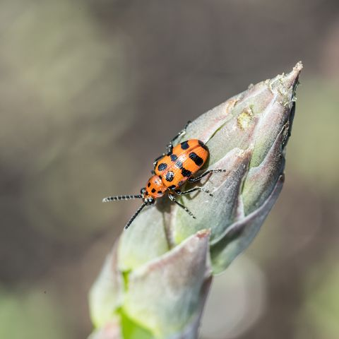 spotted asparagus beetle on the asparagus sprout tip
