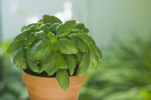 Basil in flower pot, close-up