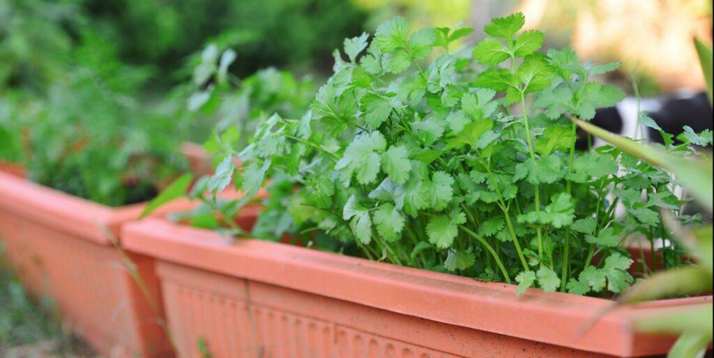 How to Grow Cilantro Plants