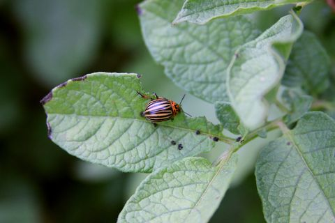 Colorado beetle on the potato leaves