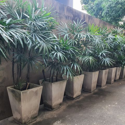 rhapis excelsa, also known as broad-leaved women's palm or bamboo palm, which is lined on cement floor in the hotel in Thailand