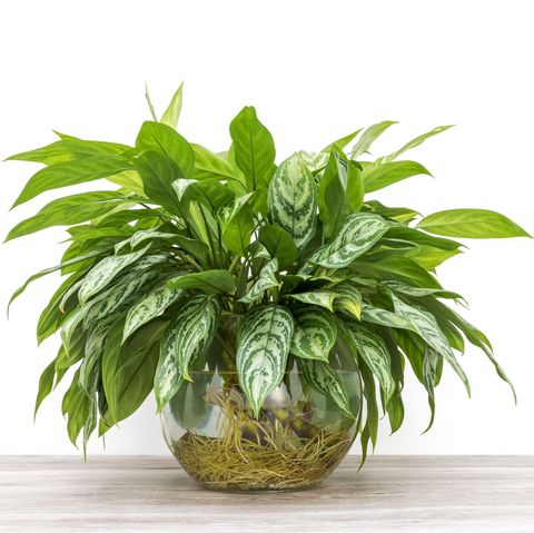 Aglaonema cuttings rooted in a glass vase