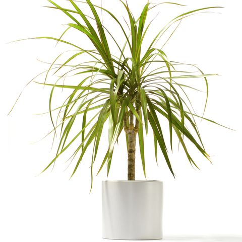 Dracaena outlined in red