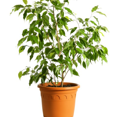 Houseplant tree Ficus Benjamin in a pot isolated on white