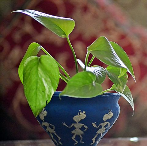 Money plantpothos in a hand-painted worli clay pot