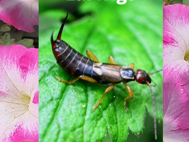 Battling Earwig Pests