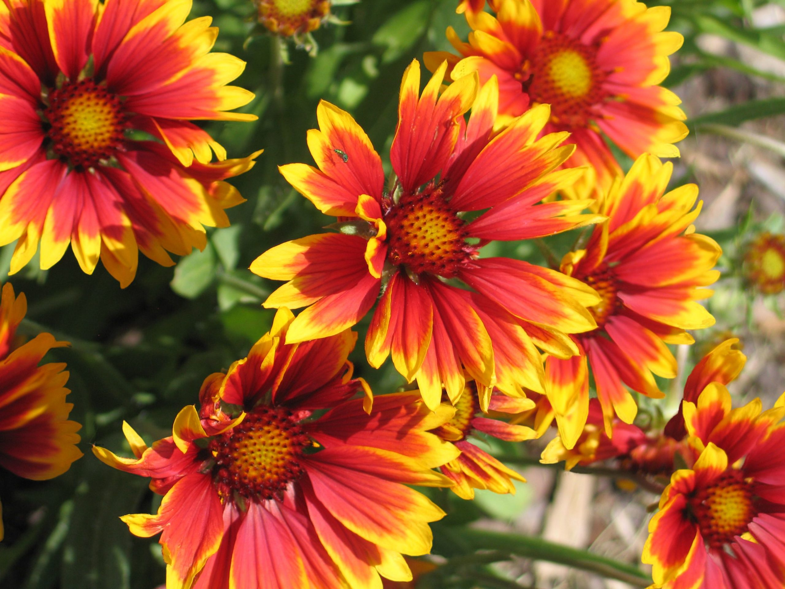 Blanket Flowers for Any Occasion