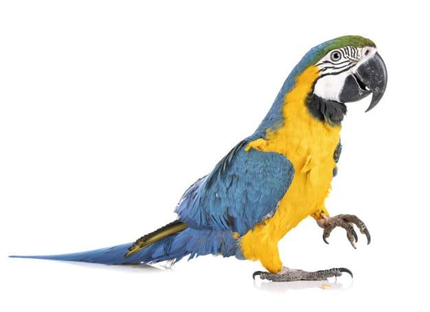 Disadvantages of Having Parrots