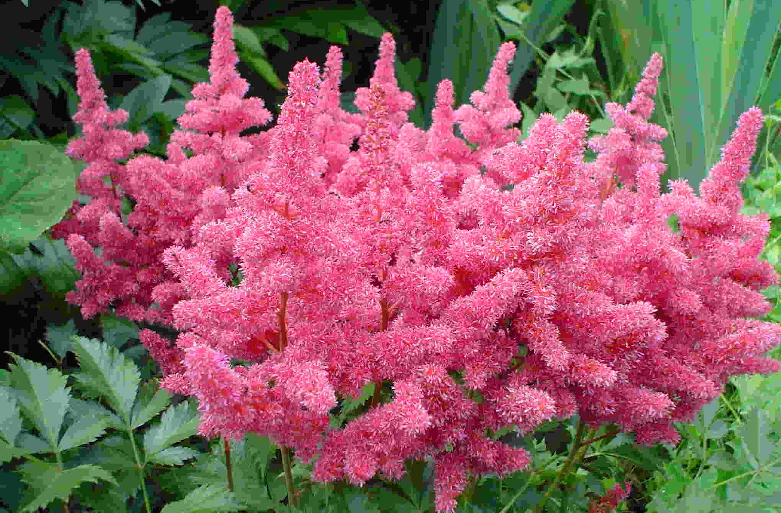 How to Plant, Grow, and care for Astilbe