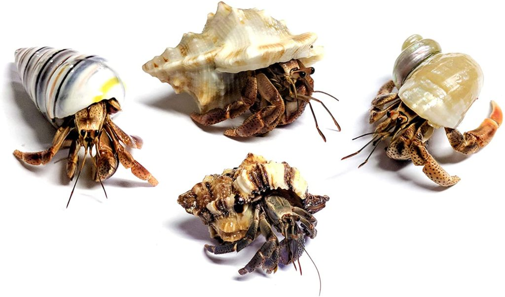Hermit crab pets