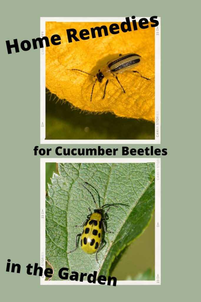 How To Avoid Cucumber Beetle Damage