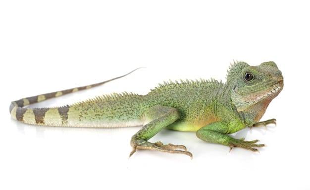 Feeding Your Iguana Pet