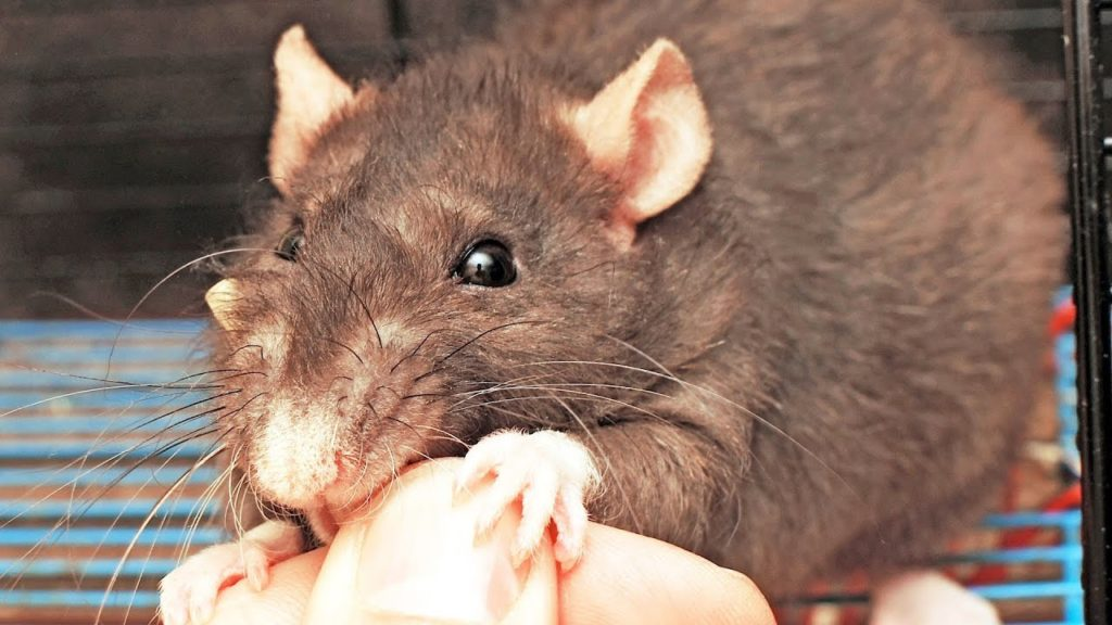 Interpreting A Pet Rat's Bites