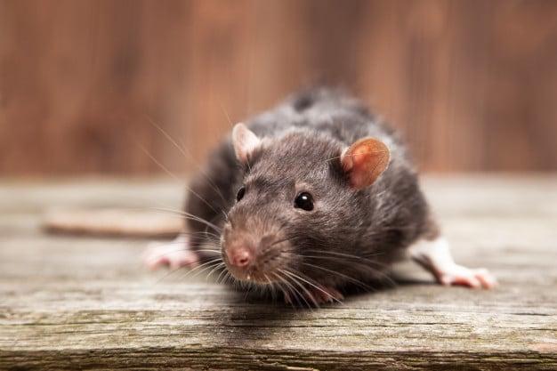 Is Your Pet Rat Sneezing