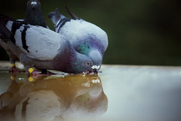 Pet Pigeon