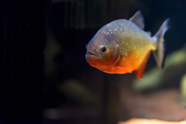 Pet Piranha