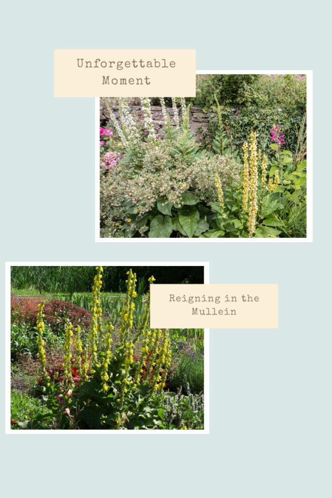 Planting Mullein In The Garden: One Unforgettable Gardening Event