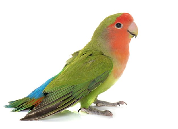 Pros and Cons of Owning a Parakeet
