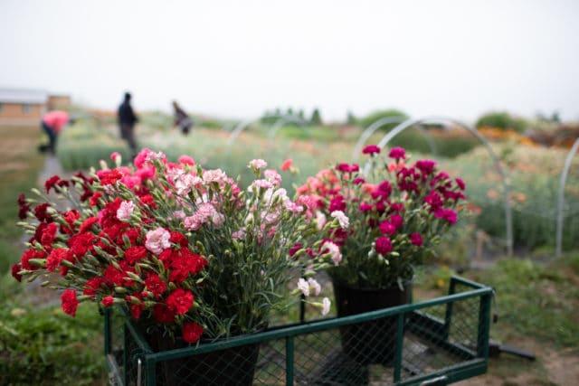 varieties of carnations