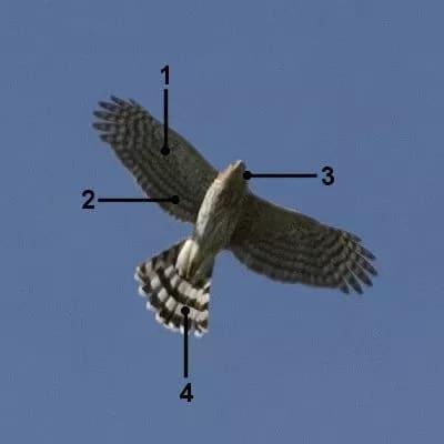 Flight Cooper's Hawk Identification