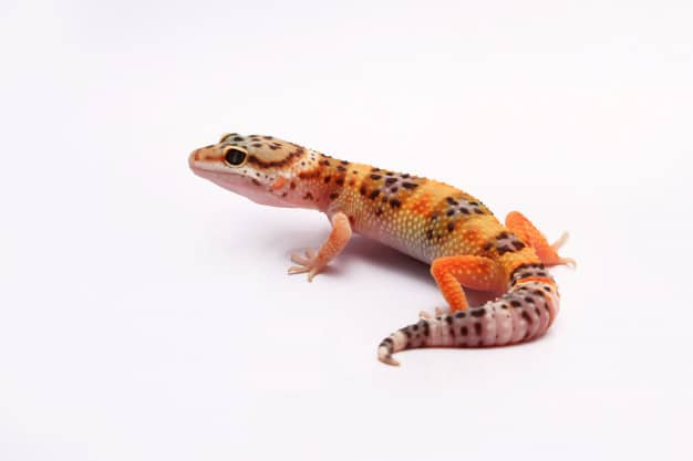 Taking Care of Your Pet Leopard Gecko