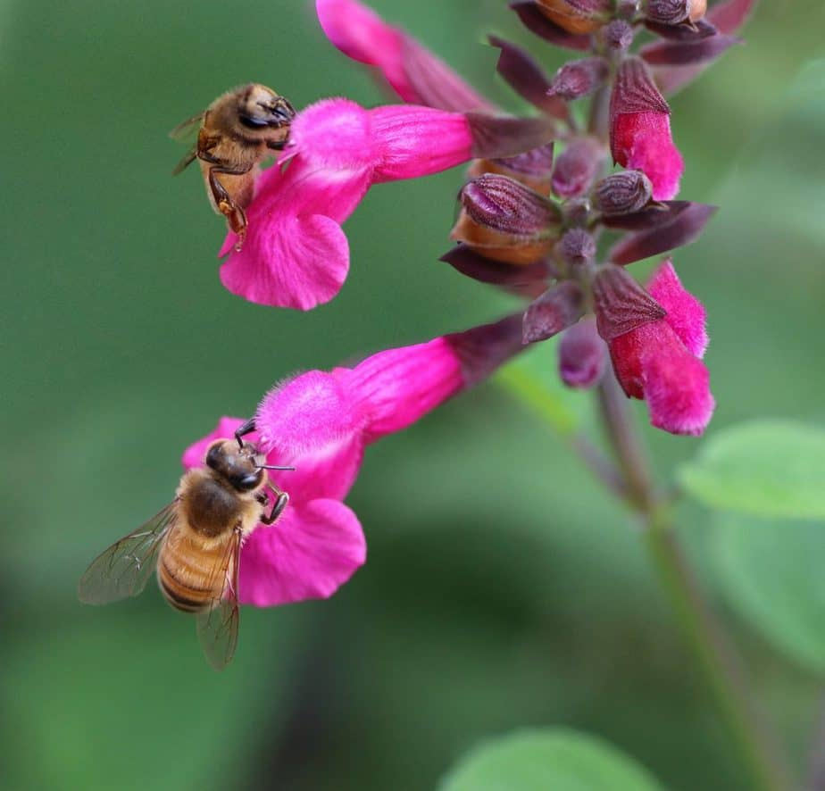 2 Bees on Salvia