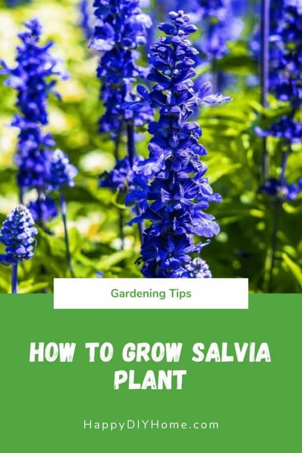How to Grow Salvia Plant