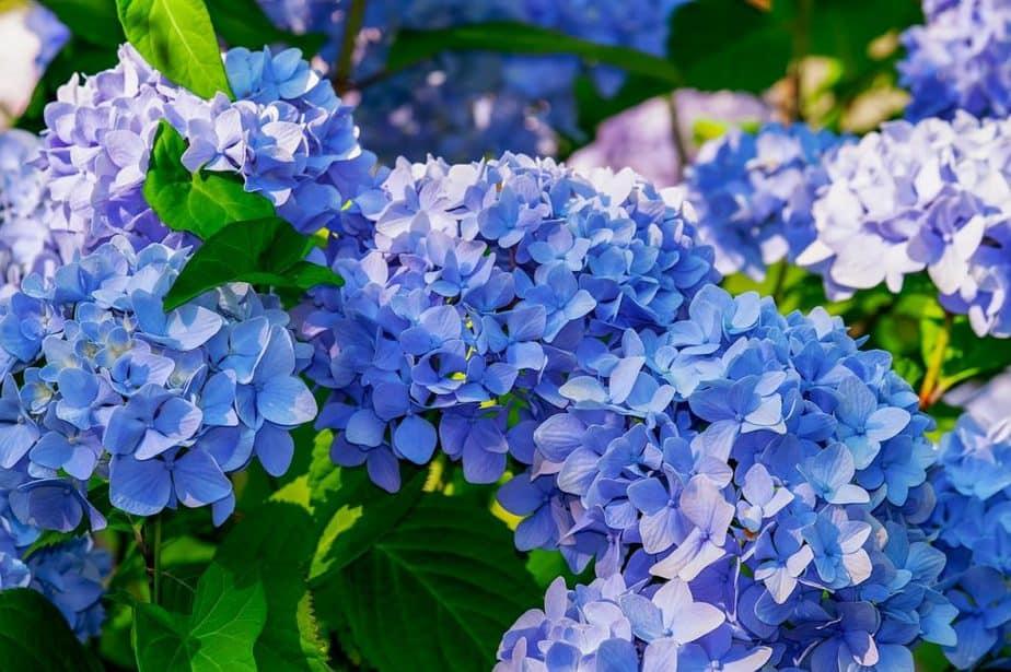 4 Blue Hydrangeas