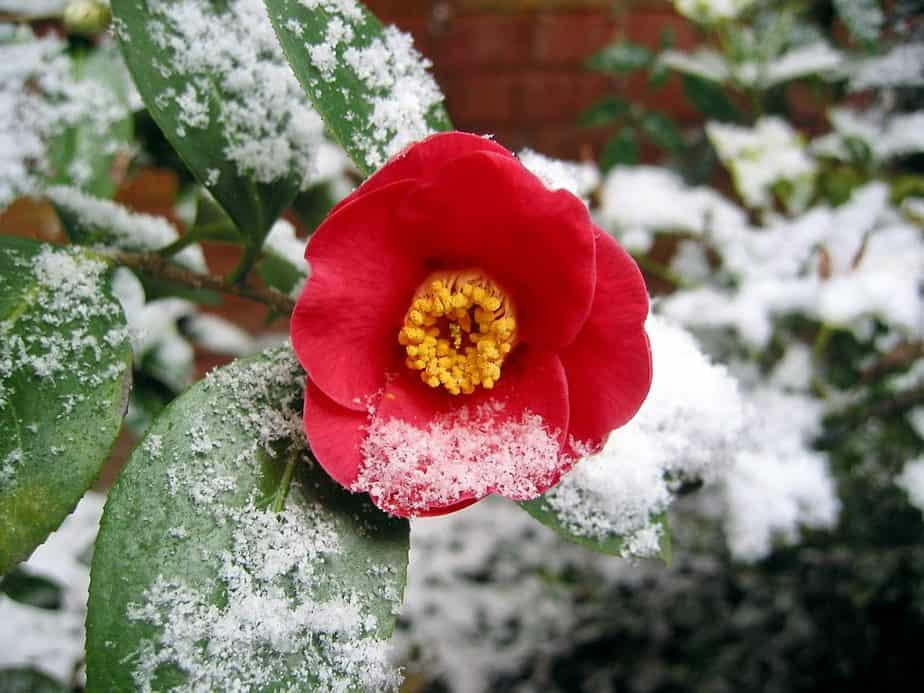 3 Red Camellia in Snow
