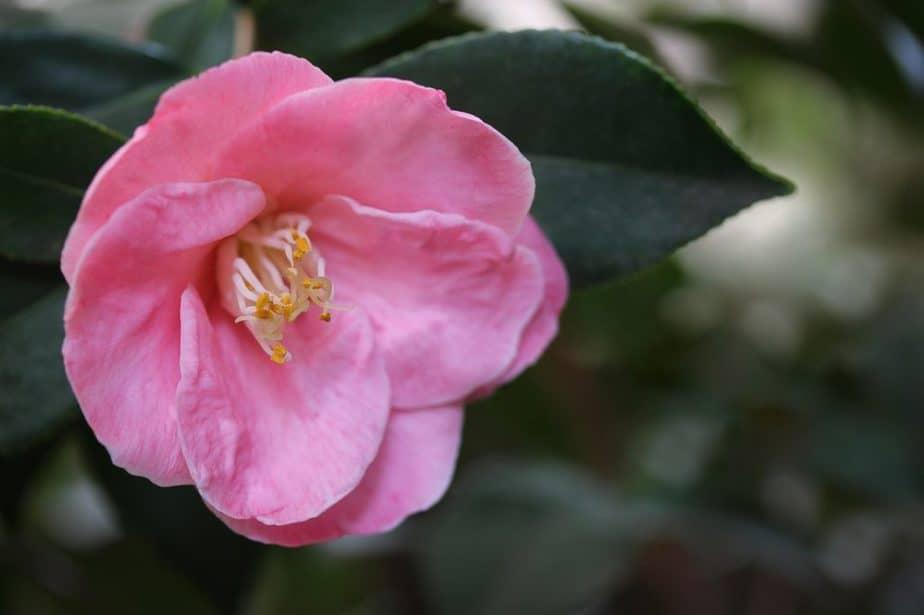 5 Pink Single Camellia