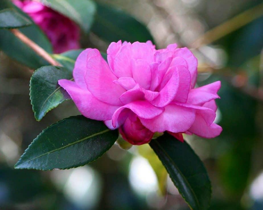 6 Pink Purple Camellia