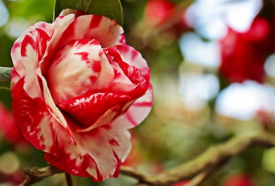 10 Red Camellia