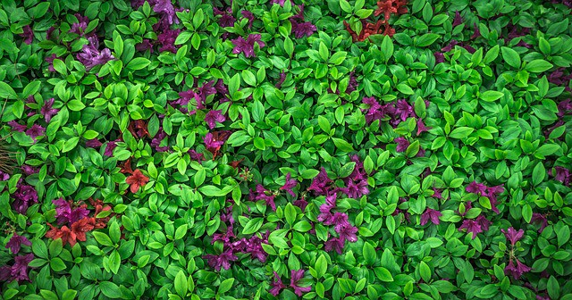 2 Low growing cultivars are a great way to bring colorful groundcover to the garden