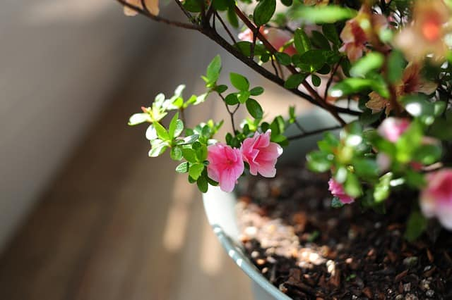 4 Azaleas do well in containers