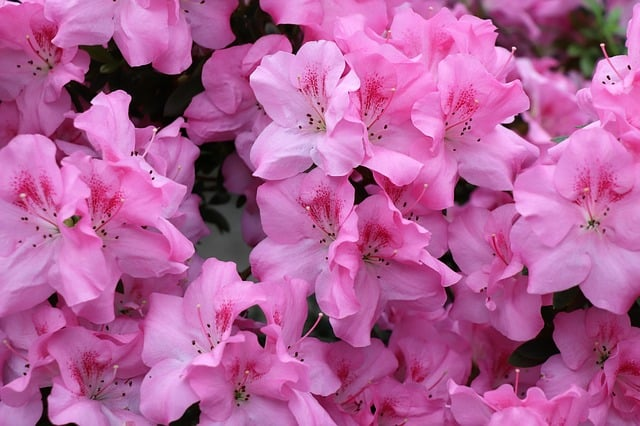 6 Bright and colorful azalea plants are a reliable way to bring color to the garden