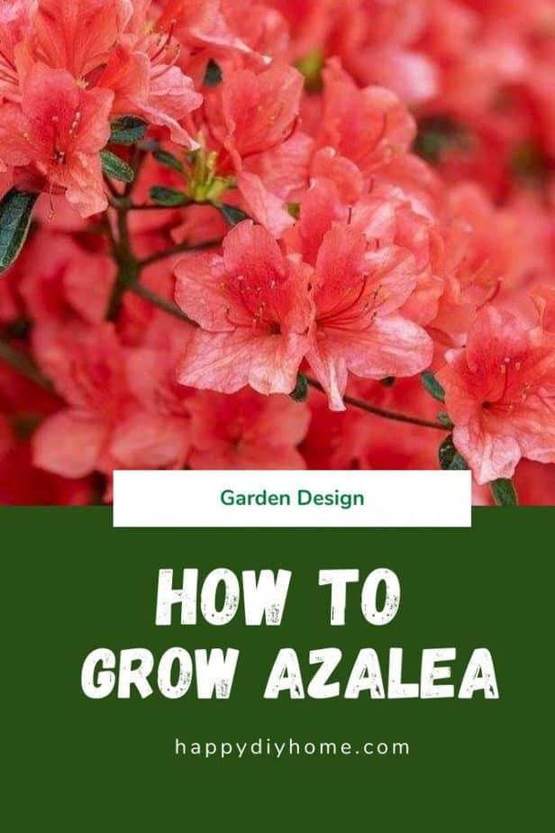 How to Grow Azalea 2