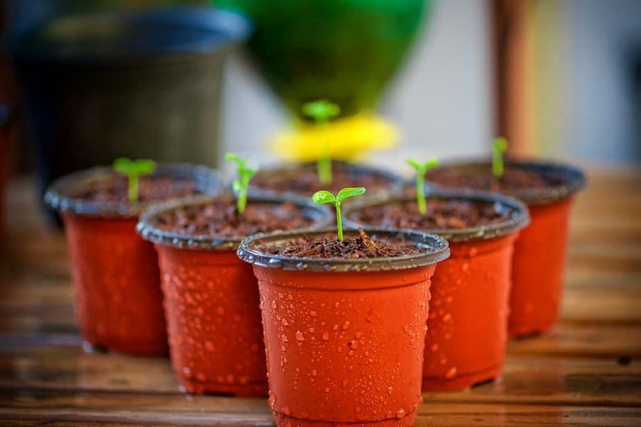 5 Seedlings in Pots