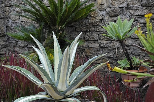7. Variegated Agave Century Plant